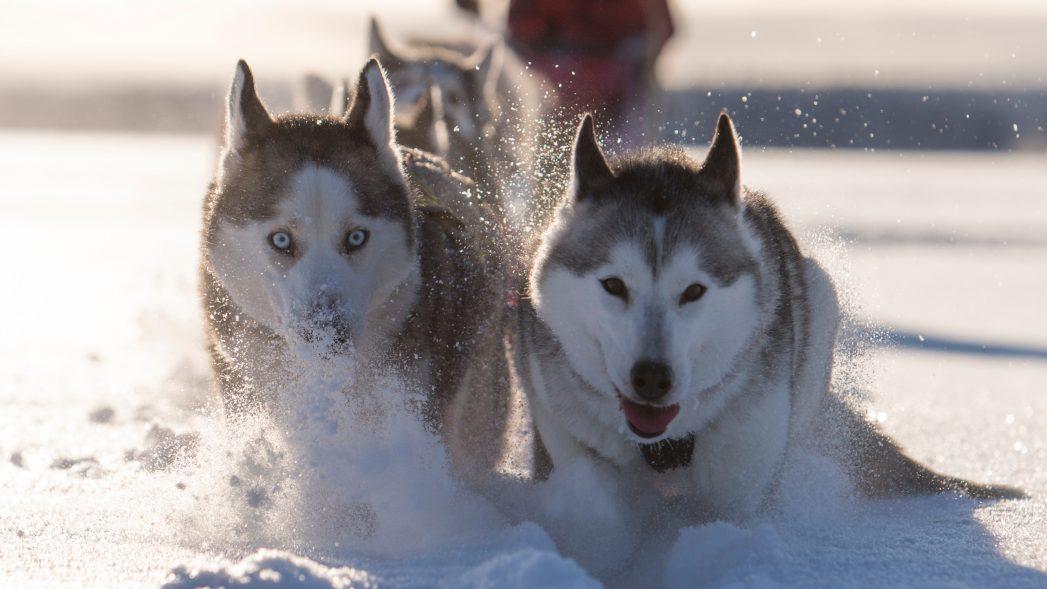 Hundeschlitten ©fredrik_broman