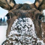 Neugieriger Elch mit Schnee in Schweden