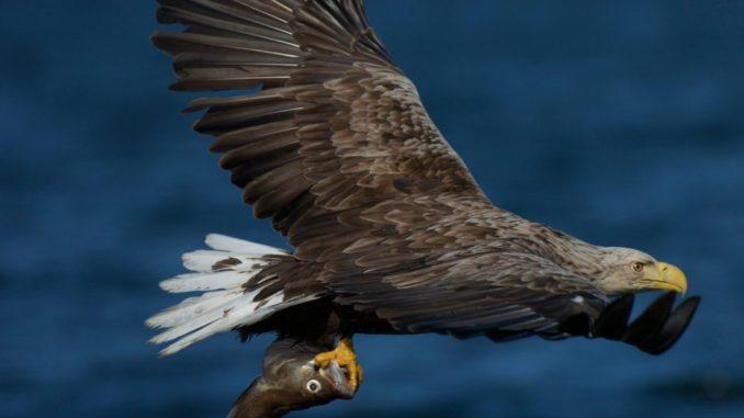 Adler Safari Schweden Skane