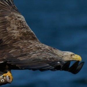 Adler Safari in Skåne Südschweden