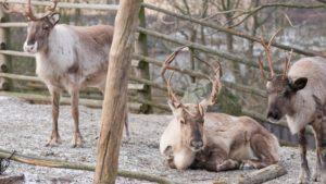 Rentiere Skansen Tierpark Stockholm